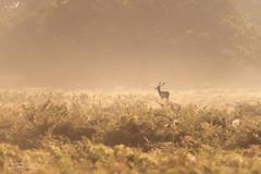 Dawn Buck (DanRansley) Tags: britain danransleyphotography england greatbritain uk animal bracken buck countryside dawn deer fallowdeer fog light mammal mist morning nature stag sunlight sunrise wildlife