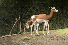 Mhorr gazelle (Den Batter) Tags: nikon d7200 blijdorp zoo dierentuin gazelle mhorrgazelle gazelladamamhorr