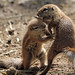 african groundsquirrel Blijdorp BB2A9491