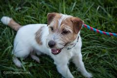 Jack Russell (nataliekrovetz) Tags: ff2017 foxfield foxfieldfall horses dog jrt jackrussellterrier terrier doglove pet dogportrait