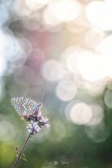 color game (Javy Nájera) Tags: espaã±a larioja amanecer aproximaciã³n insecto macro mariposa montaã±a natural naturaleza vegetaciã³n españa aproximación montaña vegetación javynájera spain butterfly dawn insect light mountain nature vegetation luz