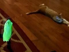 (RachBox) Tags: 樹蛙 貓 treefrog cat