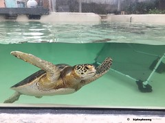 rescue turtle (hiphophooray) Tags: cheloniamydas seaturtle endangered conser conservation