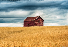 Old Barn in Summer (Matt Anderson Photography) Tags: barn field red wheat prairie greatplains washingtonstate county barley crop agriculture autumn cerealplant clearsky colorimage cultivated goldcolored growth harvesting horizonoverland horizontal landscape landscaped meadow nopeople nonurbanscene oatoatsfood palouse pasture photography plowed pullman ripe rollingruralscenicsnature simplicity singleobject sparse stable threshing buildingexterior outdoors architecture builtstructure day lowangleview sunny weathered woodmaterial agriculturalbuilding farm old rustic silo usa wisconsin dramaticlandscape dramaticsky dramaticweather gold blue cyan golden yellow brown