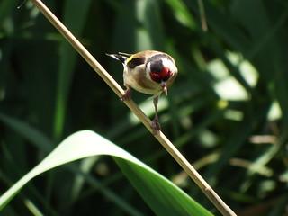 Pintassilgo (Carduelis carduelis)