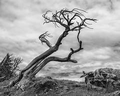 Burmis Tree (jan lyall) Tags: burmistree monochrome alberta tree burmis janlyall janlyallphotography
