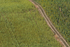 Girasoli (luporosso) Tags: natura nature naturaleza naturalmente nikon girasoli sunflowers scorcio country countryside campi campagna campo distesaerbosa marche italia italy