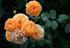 Weekend Roses (Eleanor (No multiple invites please)) Tags: roses orangeroses bud hydepark london nikond7100 august2017