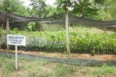 CIMG3814 (Horticulture Innovation Lab) Tags: trellis trellis2017 nickr ucdavis mango ghana methodistuniversitycollegeghana grafting graftedplant nursery photobynickreitz
