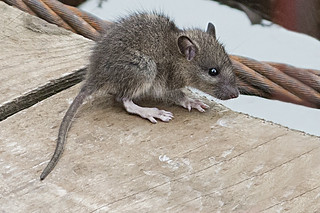 Even a mouse