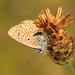 Life in blue! (rvilloutreix) Tags: common blue polyommatus icarus roasting butterfly uk macro wildlife