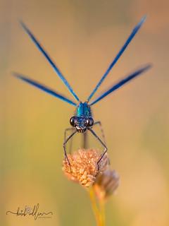 Banded Demoiselle ( Male )