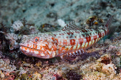 Twospot Lizardfish - Synodus binotatus (zsispeo) Tags: synodontidae teleostei variegatus synodus scuba diving tropical reef fish underwater macro macrophotography sea ocean holidays vacation summer beach relaxation d800e coral fauna wildlife wild geotagged science taxonomy travel sustainable life aquatic beautiful nature animal biology id identification souvenir living favorite natural padi rare saltwater turquoise blue conservancy quality escapade tourism wet outdoors panglao philippines lizardfish