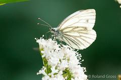 Schmetterling 171 (rgr_944) Tags: schmetterling butterfly papillon tiere insekten macro natur canoneos60deos70deos80deos7dmk2eos5dmk4 rgr944