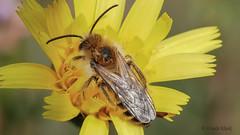 Eine Wildbiene auf ihrem Schlafplatz (Oerliuschi) Tags: biene bee wildbiene olympusm60 panasonicgx80 natur schärfentiefe heliconfocus postfocus stacking