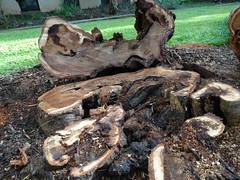 Acacia confusa (Formosan koa): Basal rot and vascular necrosis (Plant pests and diseases) Tags: acacia confusa formosan koa basal rot stem vascular necrosis