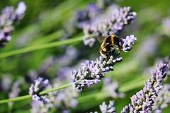 IMG_1238 (Gussyfinknottle) Tags: lavender lavanda lavande lavendel summer england britain beautiful garden outdoors nature bee ape biene abeille jardin garten giardino