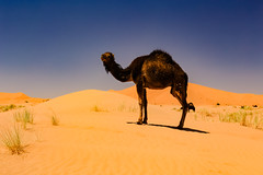 Sahara (felixkolbitz) Tags: sahara desert merzouga maroc morocco africa sand camel travel holidays heat sunshine sunset evening blue sky bluesky canoneos6d nature landscape scenery outdoors