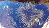 Oulactis muscosa_1 (Tony Markham) Tags: oulactismuscosa sandanemone anemone seaanemone actiniidae flagstaffpoint wollongong illawarra