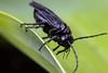 Solomon's Pest, pt. 2 - _TNY_9765 (Calle Söderberg) Tags: macro canon canon5dmkii canonef100mmf28usmmacro canoneos5dmarkii raynox dcr250 flash meike mk300 glassdiffusor insect wasp sawfly stekel sågstekel växtstekel solomonssealsawfly phymatocera aterrima rams black oily tenthredinidae svart jätterams solomonsseal blackbackground f27