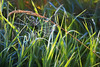 Suspended Stitchery (Goromo) Tags: web spider earlymorning grasses drooping goldengrass