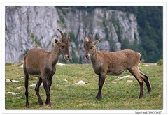 Paire de mères ! (C. OTTIE et J-Y KERMORVANT) Tags: nature animaux mammifères bouqetins bouquetinsdesalpes capraibex suisse