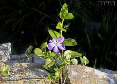 Vinca major (Marina-Inamar) Tags: flor flores buenosaires argentina