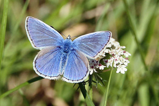 A Common Blue Butterfly (Male). (Polyommatus icarus).