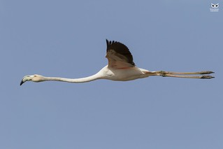 Flamingo-comum, Greater Flamingo (Phoenicopterus roseus)