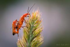 Multiplying @ Beetle
