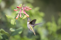So Close~ (Connie Etter Photography) Tags: 2017 migration hummingbird bird honeysuckle flower flight eat indiana canon 1dx