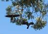 Red-tailed black cockatoos (i-lenticularis) Tags: 23jun2jul2017 calyptorhynchuslatirostris carnabyscockatoo k1 kingspark wa westernaustralia australia au calyptorhynchusbanksii redtailedblackcockatoo