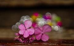 Flower macro - 3655 (YᗩSᗰIᘉᗴ HᗴᘉS +8 500 000 thx❀) Tags: bordeaux flower macro bokeh pink jardinbotanique