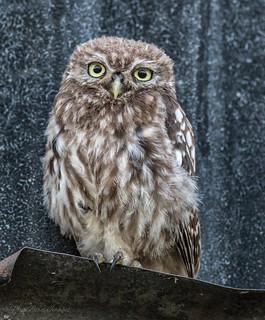 Fluffy Little Owl