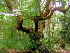 L'ancêtre de la forêt ! (jean-daniel david) Tags: arbre france morbihan bretagne forêt ancêtre
