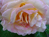 Rose (Priska B.) Tags: rose blume blüte pflanze rosenstock