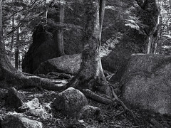 Trees among the  rocks (Tim Ravenscroft) Tags: rocks trees woodland flumegorge newhampshire usa hasselblad hasselbladx1d x1d monochrome blackandwhite blackwhite skancheli