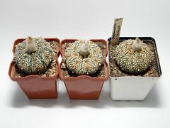 Astrophytum astereias Superkabuto. (emilmorozoff) Tags: astrophytum astereias superkabuto