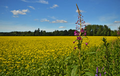 A piece of Finnish countryside. Fireweed on the edge of the rapeseed field. #Finland #summer (L.Lahtinen (nature photography)) Tags: finland summer nature rapeseed fareweed flower depthoffield dof yellow naturephotography nikond3200 countryside flowers country plants flora maitohorsma rypsi rypsipelto pelto peltomaisema maisema maalaismaisema maaseutu rurallandscape maatila kesä suomi luonto luonnonmaisema taivas scenery blue pink chamaenerionangustifolium rosebaywillowherb colorful focus relaxingcolors calm 7dwf