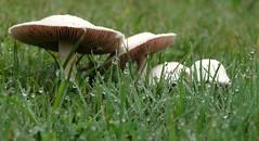 The Mushroom Tourist (Sylvia...Sometimes) Tags: mushrooms raindrops earlymorning mushroomtourist