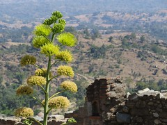 kumbalgarh 2015 (gerben more) Tags: flowers flower nature kumbalgarh landscape rajasthan india