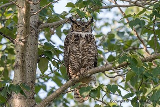Great Horned Owl, the Tiger of the Air