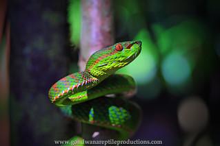 portrait: Phuket Pit Viper
