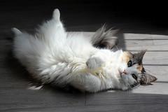 se dorer la pilule au soleil _4394 (ichauvel) Tags: chat cat animal animaldecompagnie pet soleil sun allongersurledos interieur inside france europe westerneurope regard looking norvégien norvegiancat getty
