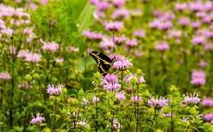 _U7A8573 (rpealit) Tags: scenery wildlife nature white lake preserve giant swallowtail butterfly nectaring monarda wild bergamot