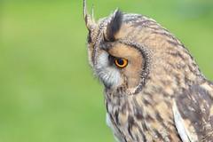 Asio otus, Long eared owl (Nano Second Artist) Tags: long eared owl otus asio nikon d7100 sigma 150mm snapseed 6x4