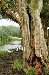 Alte Weide an der Treene; Norderstapel, Stapelholm (31) (Chironius) Tags: stapelholm norderstapel schleswigholstein deutschland germany allemagne alemania germania германия niemcy borke rinde ladrido écorce corteccia schors кора hout bois holz wood legno madera rosids fabids malpighienartige malpighiales weidengewächse salicaceae weiden weide salix osier willow marsault saule sauce salice salcio ива и́ва söğüt wilg baum bäume tree trees arbre дерево árbol arbres деревья árboles albero árvore ağaç boom träd explored treene fluss river rivière rio поток fiume stream