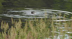 Ring of bright water (Lancashire Lass :) :) :)) Tags: otter water river grass ripple riverribble summer july nature countryside quote