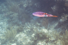 squid (Jeff Mitton) Tags: squid dunbarrock guanaja honduras guanajabayislands caribbean scuba marine animal earthnaturelife wondersofnature