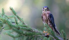 Merlin Stare (rmikulec) Tags: sony fe 100400 raptor nature merline bird prey portrait